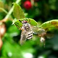 Fly infected by an Entomophthora muscae fungus - Flickr - gailhampshire (1).jpg