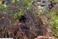 Foeniculum vulgare 6zz.jpg