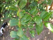 Folhas de jabuticabeira2.jpg