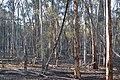Forest, Dryandra Woodland, Western Australia.jpg