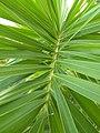 Fox Palm leaves.jpg