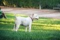 Fox terrier (8056294635).jpg