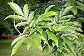 Fraxinus platypoda JPG1Fe.jpg