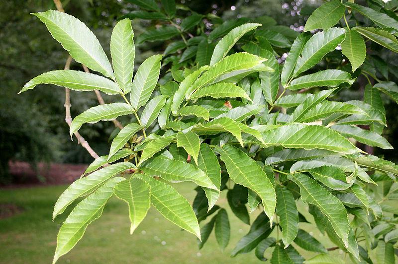 frêne à feuilles larges