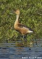 Fulvous Whistling-Duck (2336438226).jpg