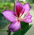 Funchal - Bauhinia × blakeana (Orchideenbaum) IMG 2104.jpg
