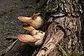 Fungus Polyporus squamosus.jpg