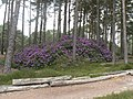 Furzebrook, a clump of rhododendrons - geograph.org.uk - 823202.jpg