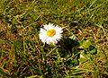 Gänseblümchen im Grünen 17-04-2010.jpg