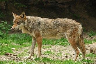 Italian wolf - C. l. italicus