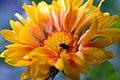 Gaillardia aristata Oranges & Lemons 3zz.jpg