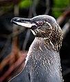 Galapagos (32171923777).jpg