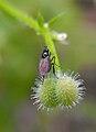 Galiumandbug.jpg