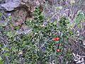 Galzeran pel barranc de l'Hedra, Montgó.jpg