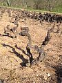 Gamay Vines from 1939 at Pascal Aufranc.jpg