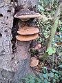 Ganoderma, (Artist's fungus) (1) - geograph.org.uk - 1587948.jpg