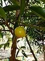 Garcinia xanthochymus Hook. f. Syn. Garcinia tinctoria Dunm.jpg