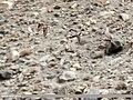 Garganey (Anas querquedula), Northern Pintail (Anas acuta), Common Teal (Anas crecca) & Eurasian Wigeon (Anas penelope) (35918179510).jpg