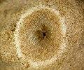 Geastrum saccatum 28309274.jpg