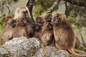 Jan Amora - A gelada reproductive unit