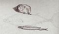 Gelderland1601-1603 Mola mola Gempylus serpens1.jpg