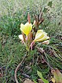 Gele Bloom 1 an'n Bullenbarg bi Nindörp 10.jpg