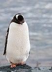 Gentoo Penguin Half Moon Bay Antarctica 2 (47284174272).jpg