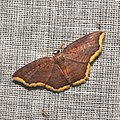 Geometridae (15438111203).jpg