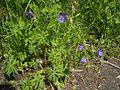 GeraniumPratense-plant1.jpg