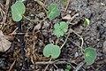 Geranium pyrenaicum kz05.jpg
