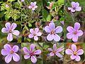 Geranium robertianum (montage).jpg