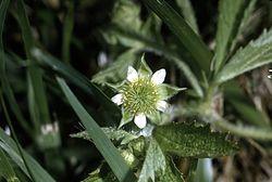 Geum lacinatum - USDA-NRCS.jpg