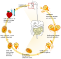 Giardia life cycle en.svg