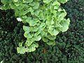 Ginkgo biloba avifauna alphen aan den rijn.jpg
