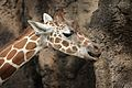Giraffa camelopardalis at the Philadelphia Zoo 001.jpg