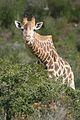 Giraffe (6649528585).jpg