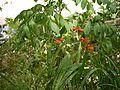 Gladiolus (6367436799).jpg