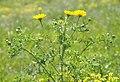 Glebionis coronaria - Crown Daisy 04.jpg