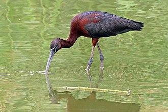 Glossy ibis - breeding plumage Aqaba Bird Observatory, Jordan