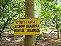 Goa, India 12 Tree. Yellow Champak. Michelia Champaca.jpg