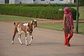 Goat And Girl Returning Home - Hazarduari Complex - Nizamat Fort Campus - Murshidabad 2017-03-28 6517.JPG