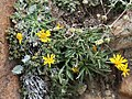Golden-aster Pyrrocoma apargioides.jpg
