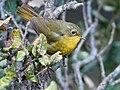 Golden Bush Robin (Female)- Himachal- I IMG 3484.jpg