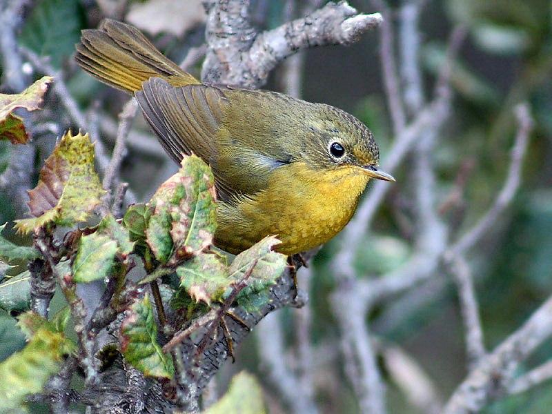 Golden Bush Robin (Female)- Himachal- I IMG 3484