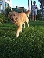 Golden Retriever 9 months old.jpg