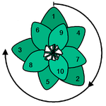 Leaf position of a plant with a leaf spacing according to the golden angle