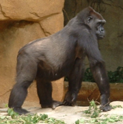 Gorilla knucklewalking, Cincinnati Zoo