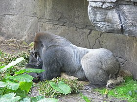 Gorilla gorilla gorilla10.jpg