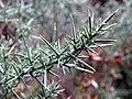 Gorse (Ulex europaeus) foliage (8130726260).jpg