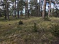 Gravfältet RAÄ-nr Fårö 46.2 L1977.577.jpg